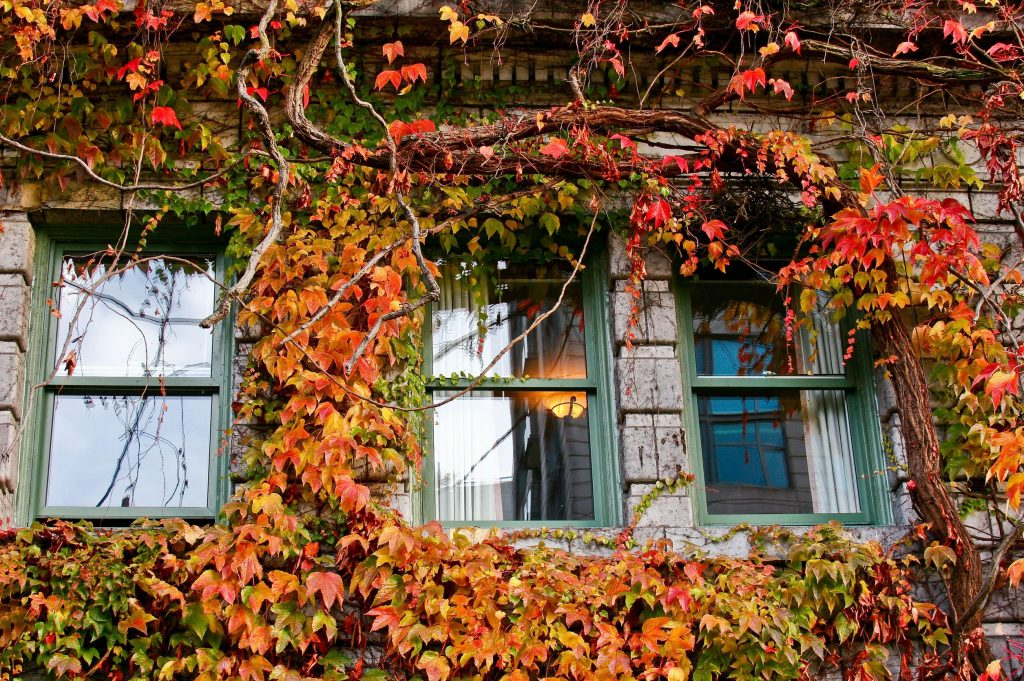 Ivy-covered windows in Autumn